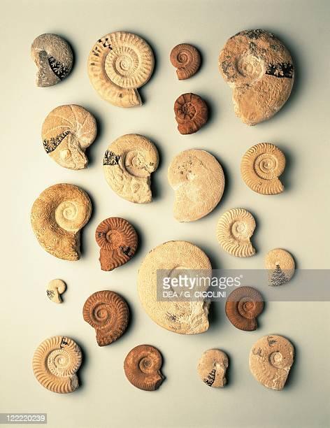 Fossils Protostomia Mollusca Cephalopoda Ammonoidea Jurassic