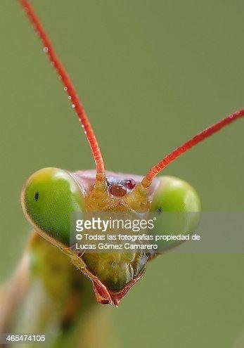 Foto Carnet Mantis Religiosa