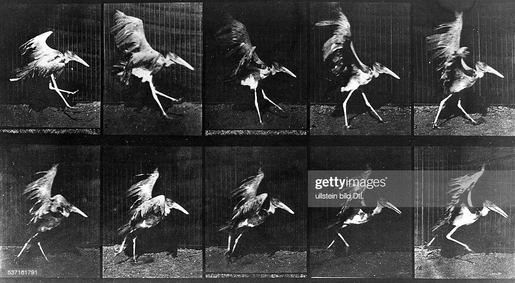 1830 - 1904, Fotograf, GB, Bewegungsstudie: Kranich im, Landeanflug, - o.J.