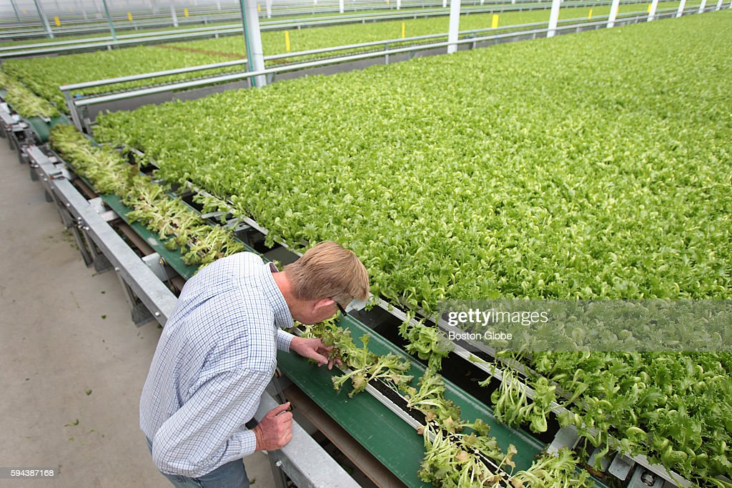 Founder Paul Sellew checks on some of the lettuces at Little Leaf Farms a new business based in the MassDevelopment industrial park in Devens Mass...