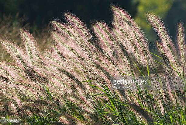 Fountain Grass (horizontal-left)
