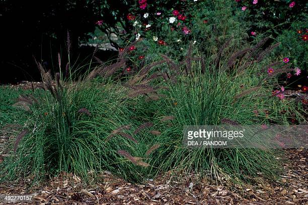 Fountain grass Poaceae