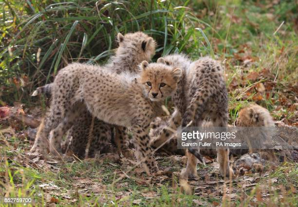 Four as yet unnamed Southern Cheetah cubs play in their enclosure as they make their public debut at Port Lympne Wild Animal Park near Ashford Kent