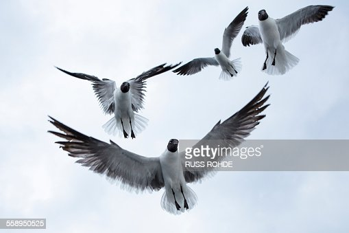 Four black-headed gulls (chroicocephalus ridibundusflying) overhead