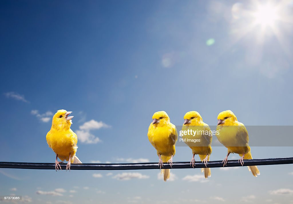 Four canaries on wire, one bird chirping : Stock Photo