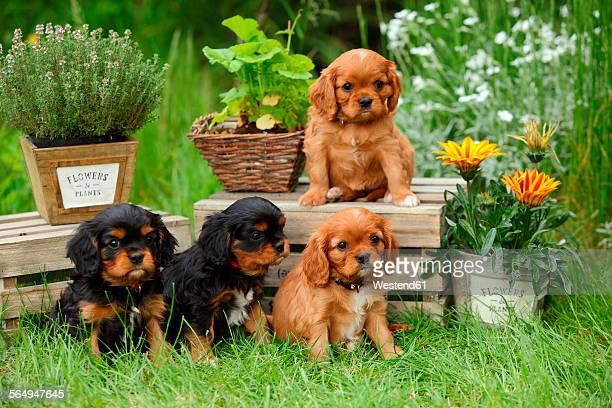 Four Cavalier King Charles Spaniel puppies sitting in a garden