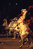 Four circus horses standing on hind legs