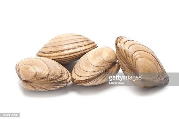 Four clams placed on a white backdrop