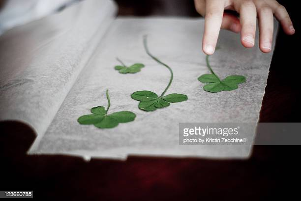 Four clovers leaf found by child