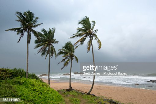 Four Coconut Palm Trees Stock Photo  Getty Images