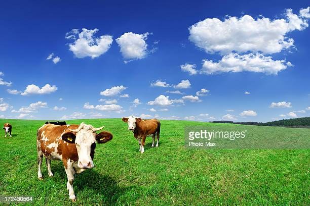 Four cows standing out in a green pasture