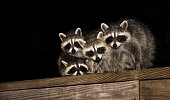 Four cute baby raccoon sitting on a deck at night