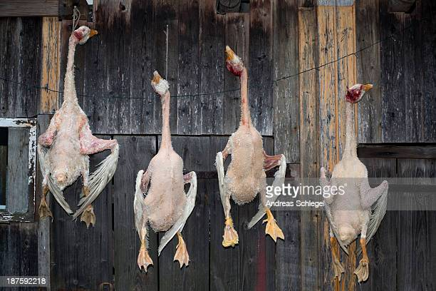 Four dead geese hanging in a row on a rustic wooden wall