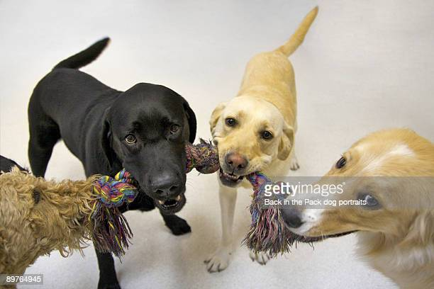 Four dogs playing tug indoors
