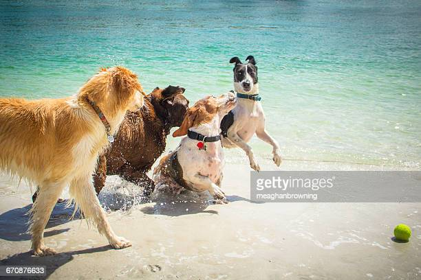 Four Dogs playing with tennis ball on beach
