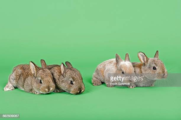 Four Domestic Rabbits -Oryctolagus cuniculus forma domestica-