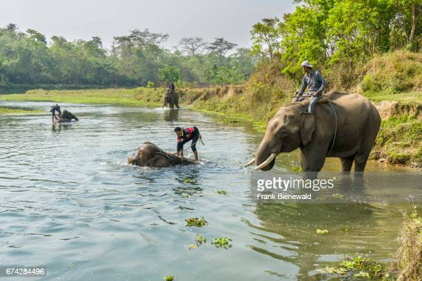 Four elephants are getting washed by their mahouts in the Rapti River in Chitwan National Park