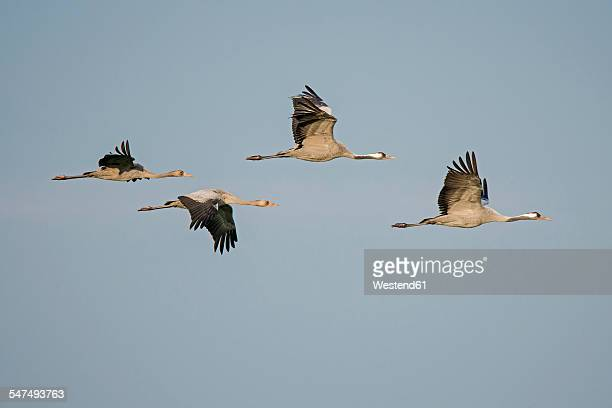 Four flying cranes