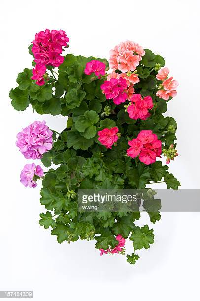 Four Geranium Plants on White