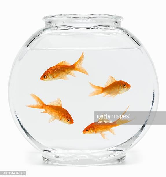 Four goldfish (Carassius auratus) in fishbowl, side view