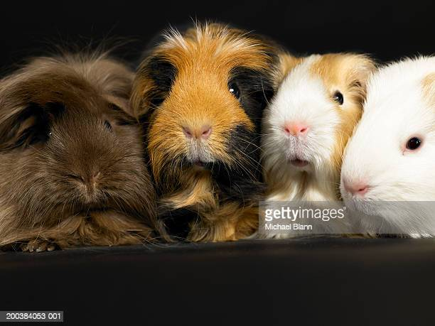 Four guinea pigs sitting in a line, against black background, close-up