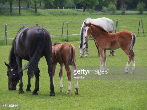vier pferde : Foto de stock