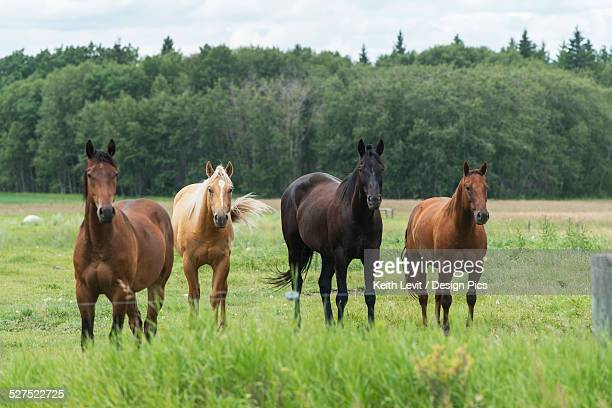 Four horses standing in a row at a fence along the edge of a pasture, Riding Mountain National Park