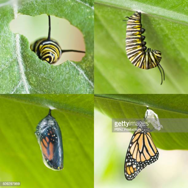Four images of caterpillar growing into cocoon and butterfly