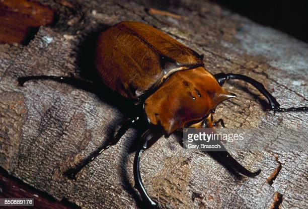 A four inch long male elephant beetle crawls on a tree branch