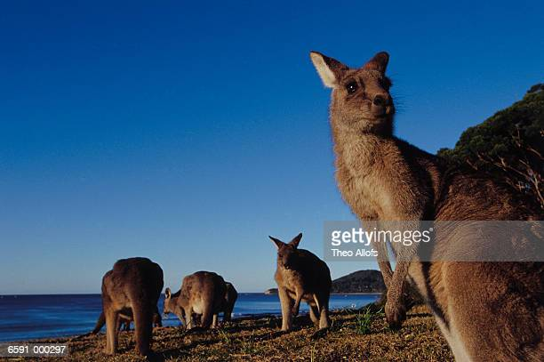 Four Kangaroos on Beach