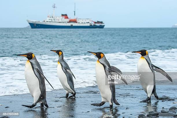 Four King Penguins walking on a sandy beach