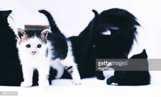 Four kittens playing together in front of white background