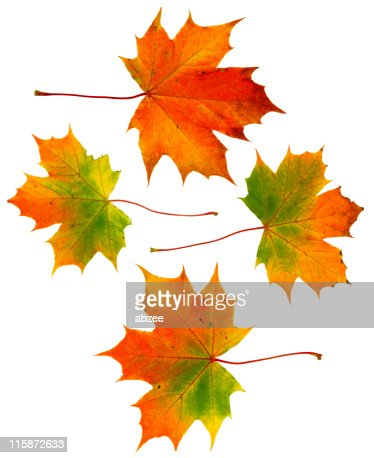 Four large autumn leaves