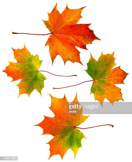 Four large autumn leaves