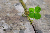 Four leaf clover growing in a split between stones, symbol for luck and fortune, concept  power of nature, closeup with copy space, selected focus, narrow depth of field