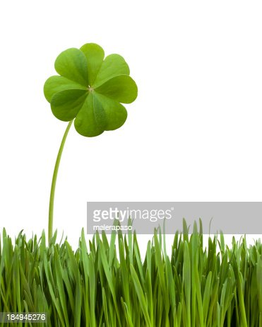 Four leaf clover in the grass