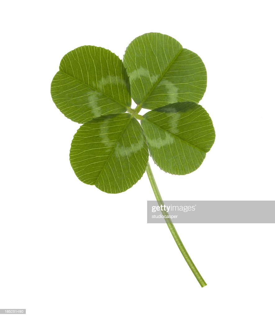 four leaf clover on white background stock photo getty images