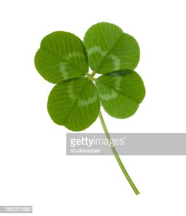 Four leaf clover on white background