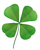 Four Leaf Clover On White Background