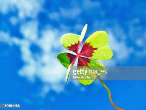 four leaf clover : Stock Photo