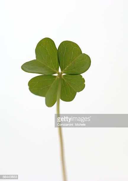 Four- leaf clover