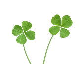Two four leaf clovers isolated on white