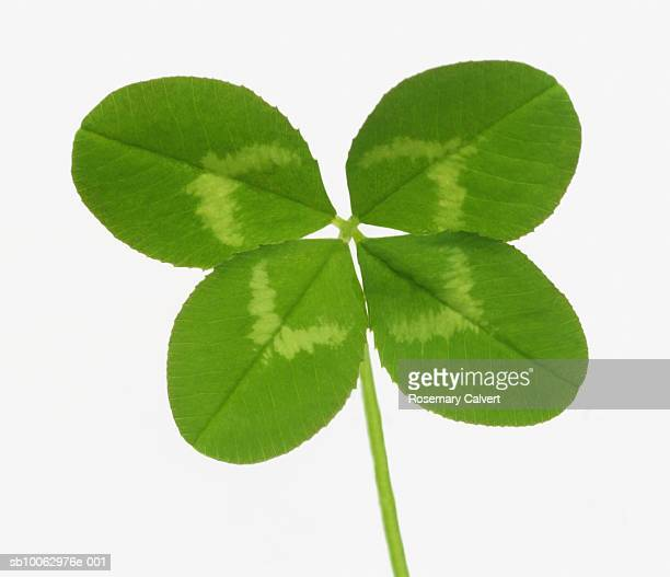 Four leaved clover on white background, close-up
