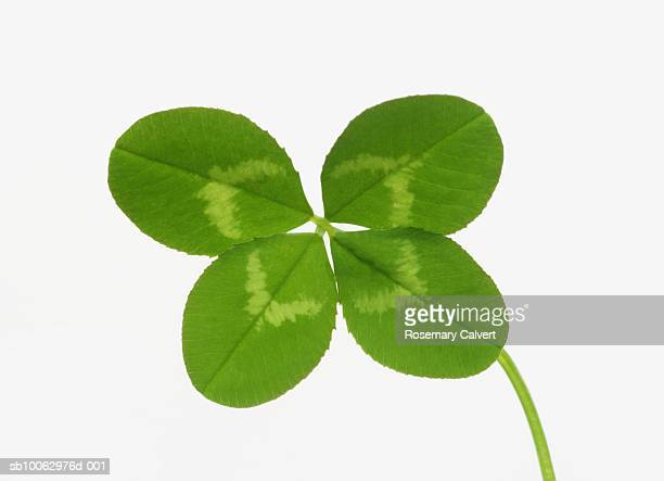 Four leaved clover on white background