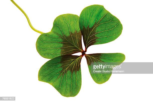 Four-leafed clover against white background, close-up