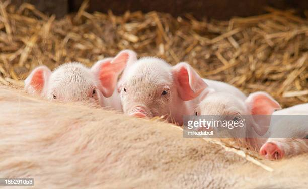 Vier kleine Schweinen