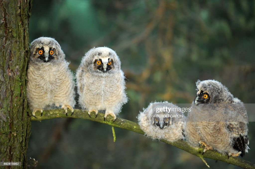 Four long-eared owl chicks sit on a tree branch during sunrise at a wildlife sanctuary near the village of Vygonoshchi, some 270 km southwest of Minsk, on June 6, 2017. / AFP PHOTO / Sergei GAPON