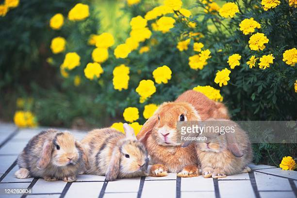 Four Lop Ear Rabbits Lying on a White Floor, Surrounded By Yellow Flowers, Front View, Differential Focus