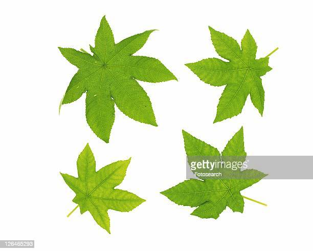 Four Maple Leaves, High Angle View