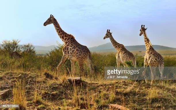 Four Masai giraffes